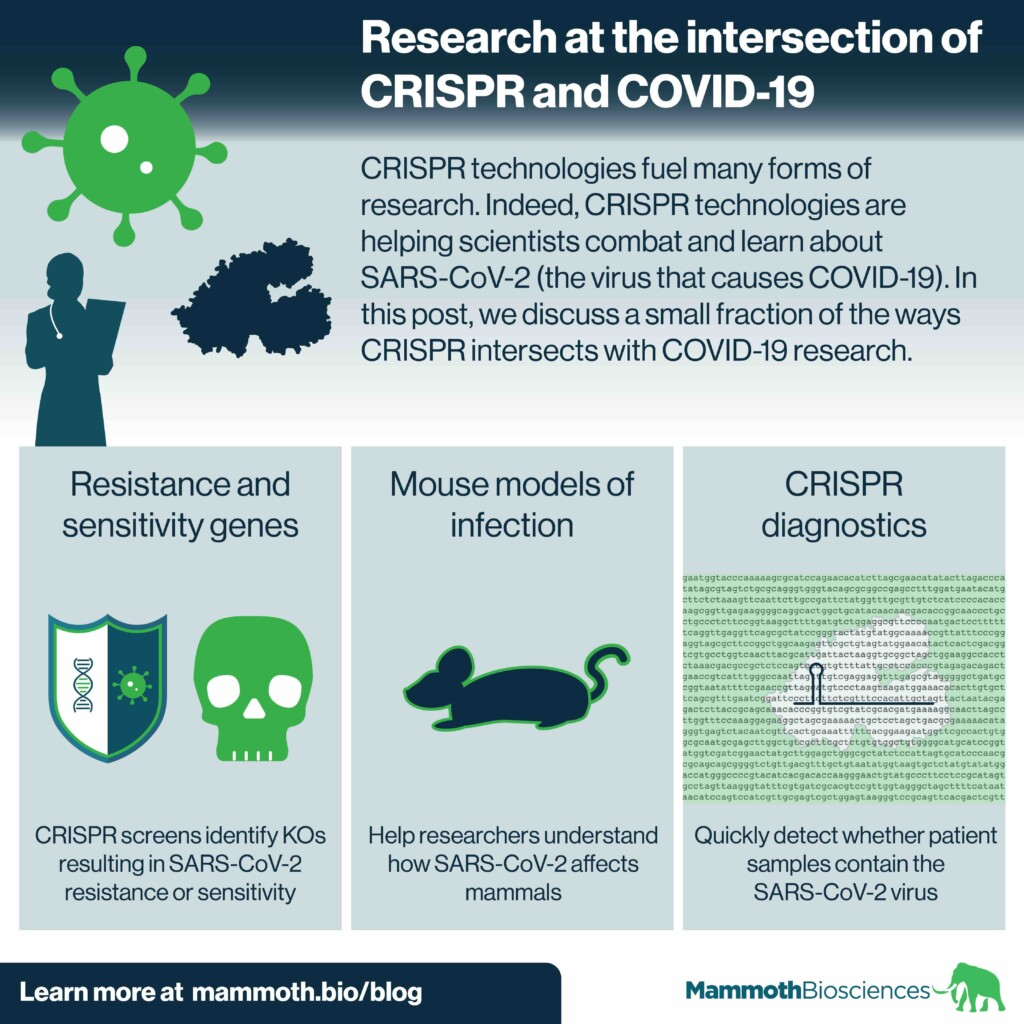 Infographic showing three ways researchers are using CRISPR to learn more about COVID-19 and SARS-COV-2 (the virus that causes COVID-19). The three ways depicted are: Using CRISPR to discover mammalian genes that impact cellular resistance and sensitivity to SARS-CoV-2, using CRISPR to create mouse models that are susceptible to SARS-CoV-2 infection, and using CRISPR to create diagnostics that make it easier to detect SARS-CoV-2 infection.